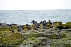 Большой баклан / Phalacrocorax carbo / Great Cormorant / Голям корморан / Kormoran