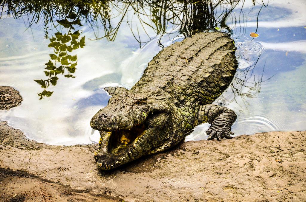 Croc open mouth WAT AK