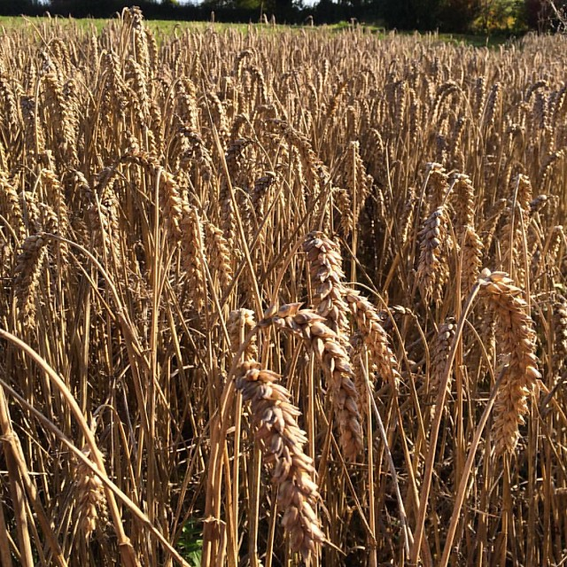 Last stalks of corn, sunning the backs of their necks #autumn #sunshine #oftheday