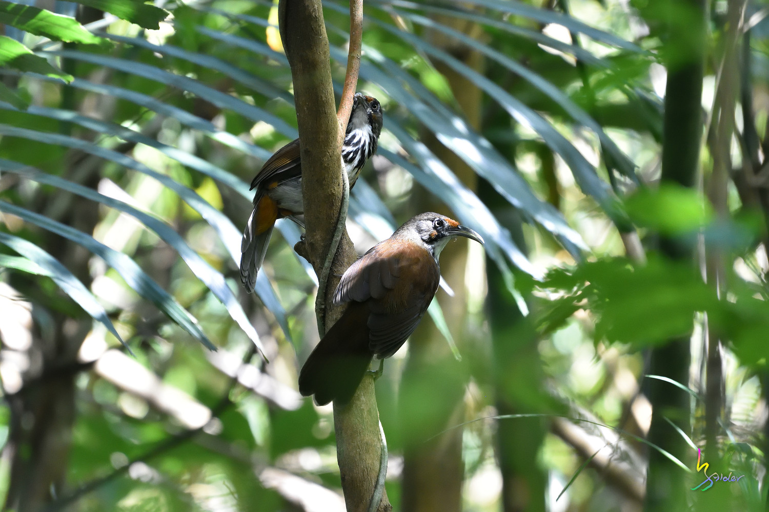 Rusty-cheeked_Scimitar_Babbler_1413