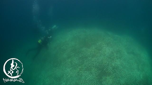 名蔵の巨大コモンシコロサンゴ。白化が目立つなぁ。。