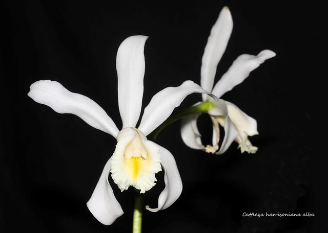 Cattleya harrisoniana alba 35713294893_e8cf8f4b3f_z