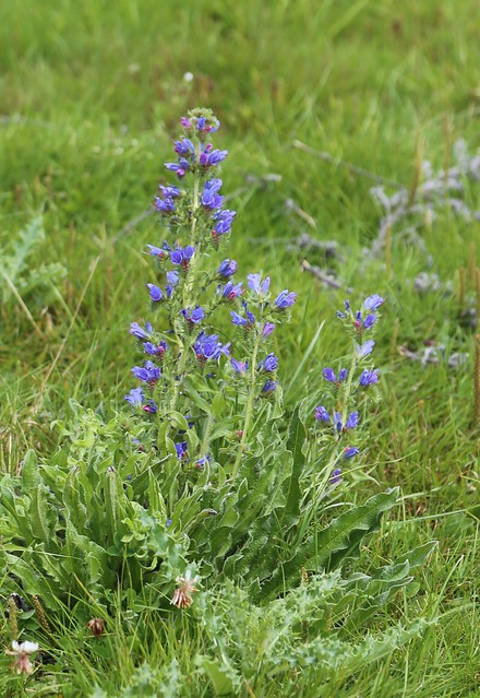 Vipers Bugloss - near Petworth