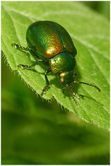 HolderTansy Beetle.