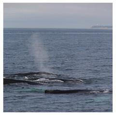 Humpback whales, Cape Cod