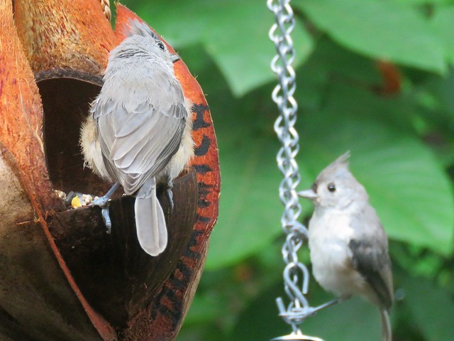 In Line Tufted Titmouse