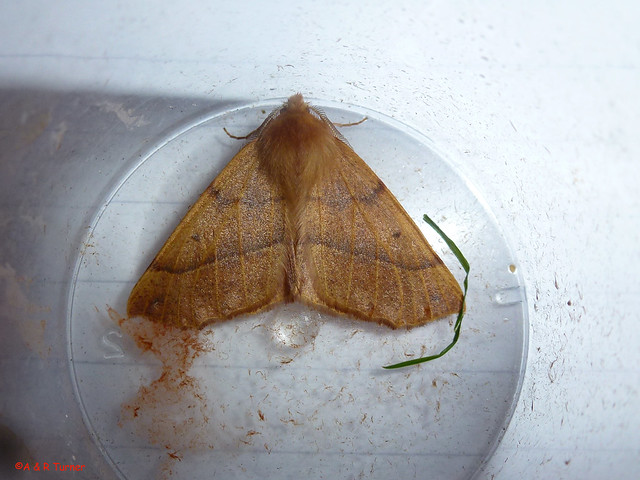 42 Feathered Thorn 181014