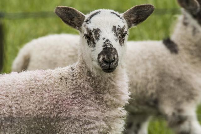 Lamb, Nikon D7100, AF-S Nikkor 200-500mm f/5.6E ED VR