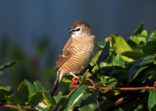 Plumhead Finch - female