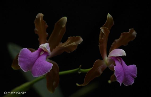 Cattleya bicolor 36822340171_1032fdbc35_z