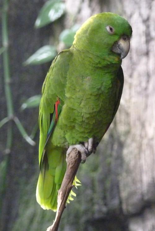 Amazona auropalliata 36834784411_60e2d33447_o