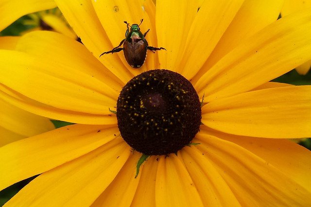 beetle on the petals facing up