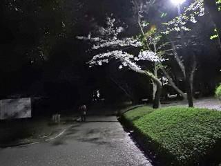 千葉公園お花見広場 夜桜01