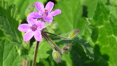 Flor Silvestre / Wild Flower / Chile