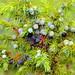 Juniper Berries - IMG_8877 by catalinamountains