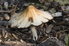 Toadstool fungi single ground view