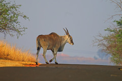 eland crossing....