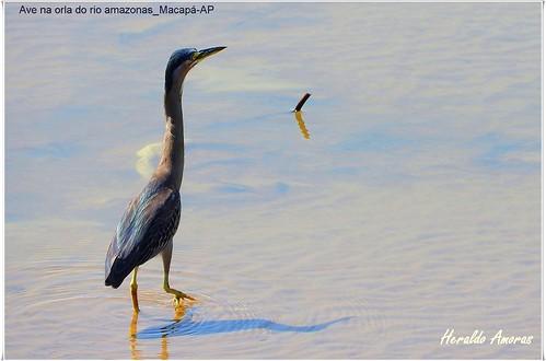 Ave na orla do rio amazonas_Macapá-AP