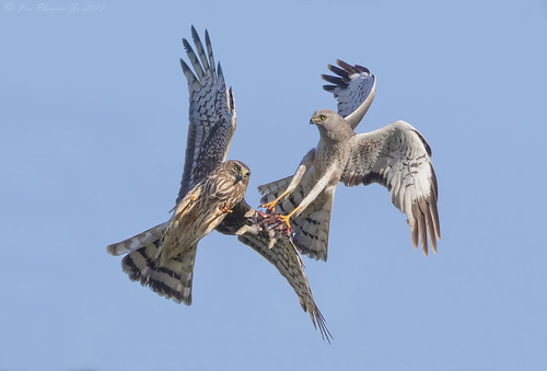 Northern Harrier food exchange 1