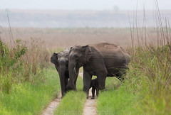 Asian Elephants !!!