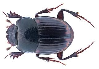 Onthophagus sulcipennis D'Orbigny, 1902