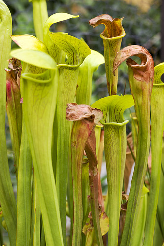 Sarracenia alata (Tyler Co., TX)