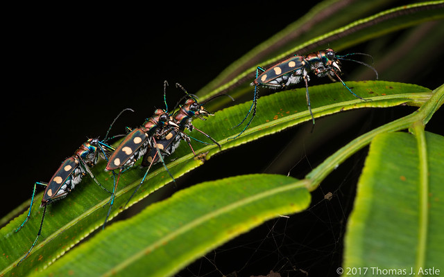 Tiger Beetles At Night