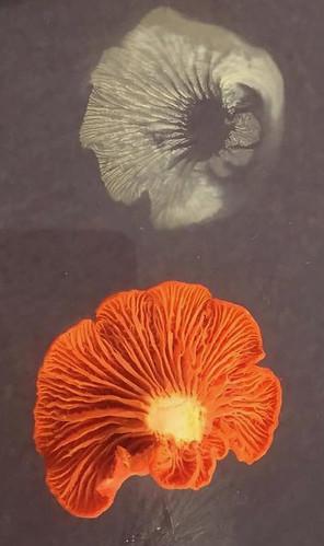 Mushroom - Chanterelle Cantharellus cinnabarinus, Cantharellus texensis