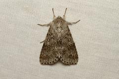 Acronicta dactylina (Fingered Dagger Moth) - Hodges # 9203