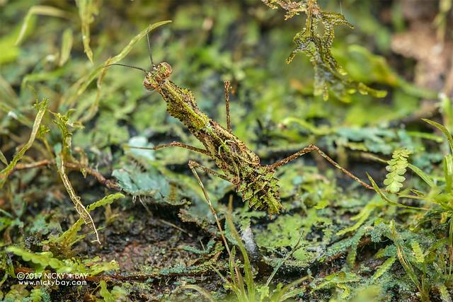 Moss mantis (Haania sp.) - DSC_8277
