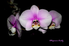Orquídeas/Orchids/Orchidee