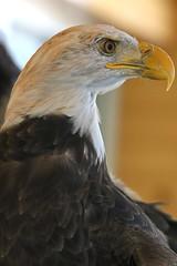 Eagle Close up LMP4B