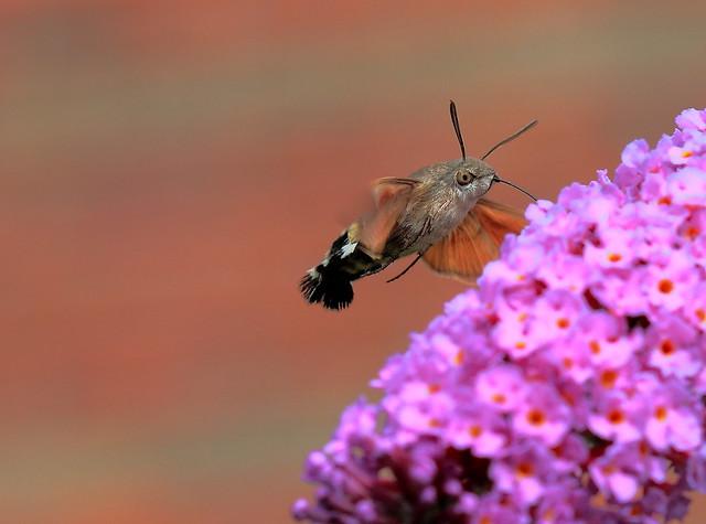 Humming Bird Hawk Moth, Canon EOS 7D, Canon EF 100mm f/2.8 Macro USM