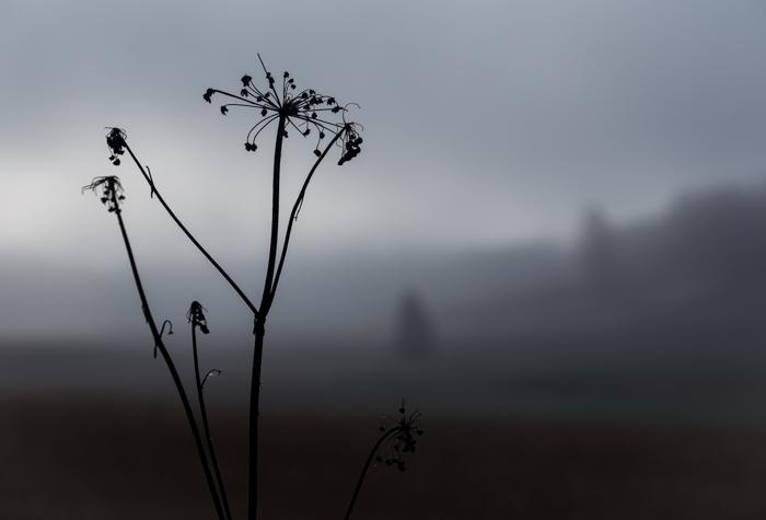 syksy mv mustavalkoinen mustavalko black and white simple maisema sumuinen sumu aamulla peltomaisema koiranputki (1 of 1)