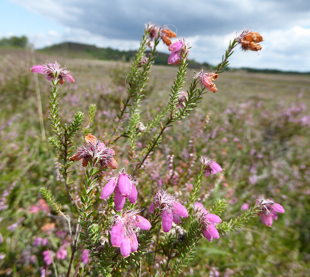 Cross-leaved heath.