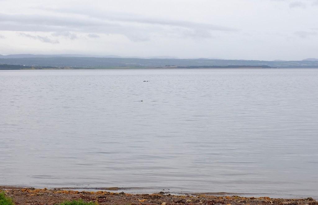 Delfiinejä Skotlannissa