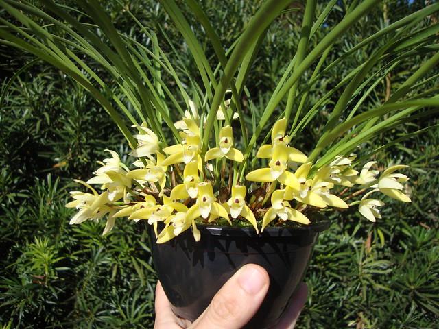 Maxillaria kautskyi Pabst 1972