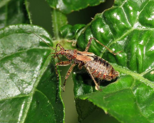 Tree Damsel Bug - Himacerus apterus