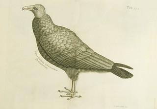 The carrion crow =: Vultur Gallinae Africanae facie