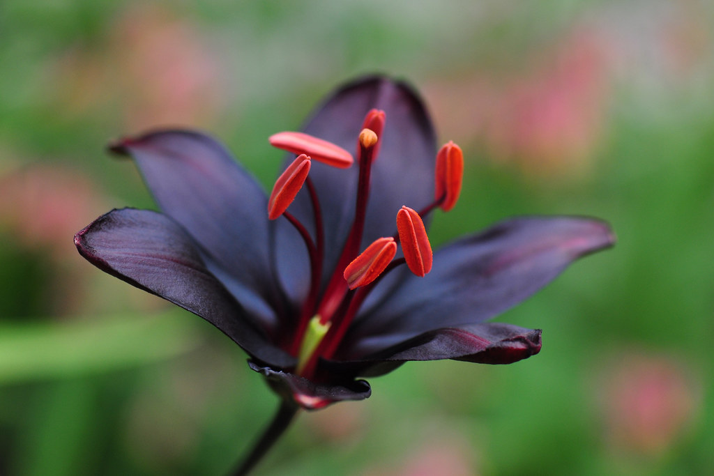 Lily Queen of the Night ( Lilium Asiatica 'Queen of the Night' )