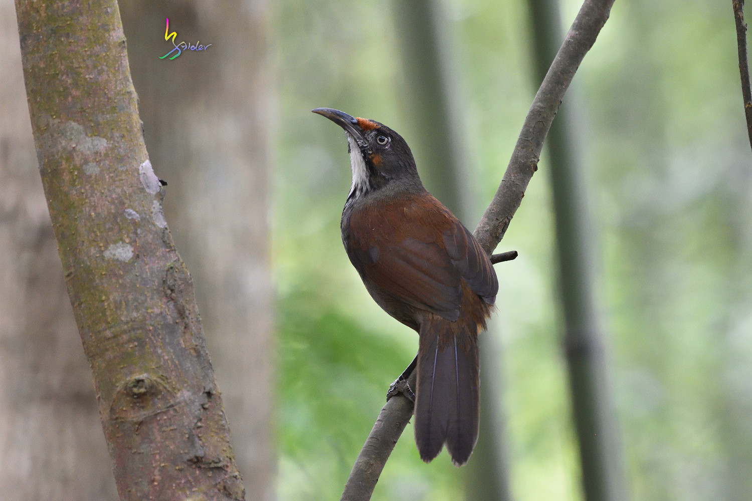 Rusty-cheeked_Scimitar_Babbler_2015