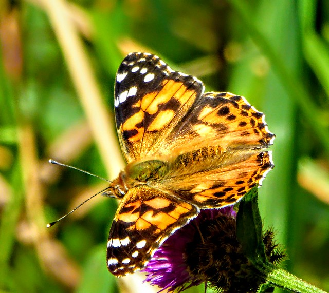PAINTED LADY., Panasonic DMC-TZ60