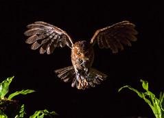 12黃嘴角鴞