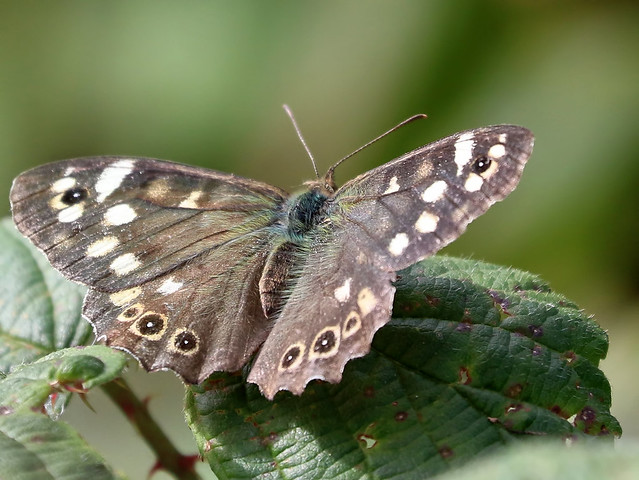 Speckled Wood Butterfly, Canon EOS 7D MARK II, Canon EF 70-300mm f/4-5.6L IS USM