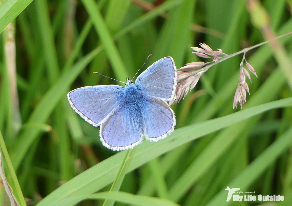 P1100346 - Common Blue, Ulva