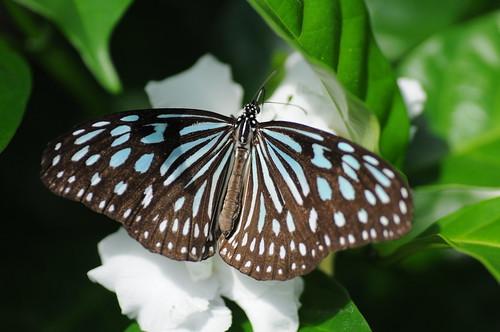 Ceylon Blue Glassy Tiger