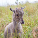 baby mountain goat... by dannymark=