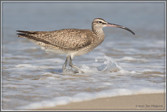 Whimbrel in the Surf 2629