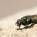 Greenbottle Blowfly
