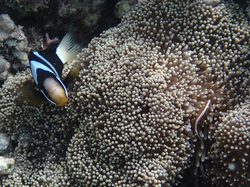 Clark's anemonefish ans Orange anemonefish_Клоун-кларка_ и два оранжевых скунсовых клоуна_P8080609+